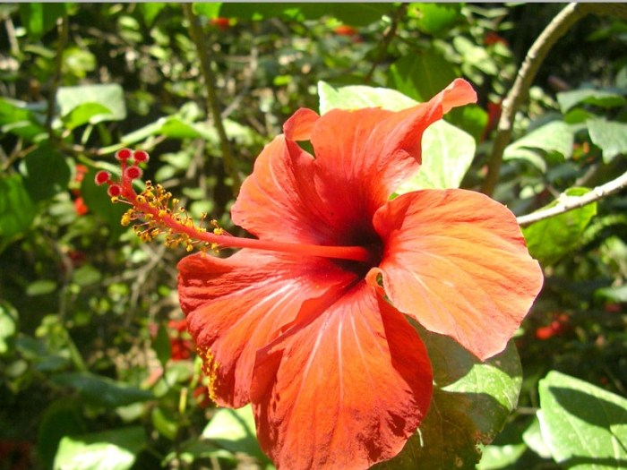 Hibiscus Tea: Food of the god & Defender of Your Health